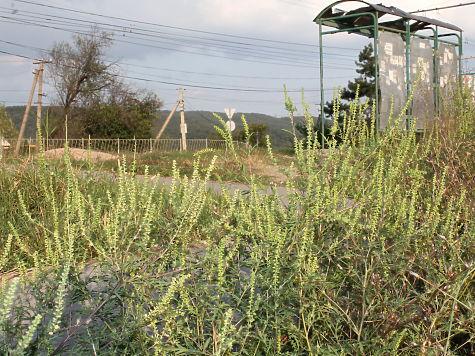 амброзия в крыму период цветения фото 2016