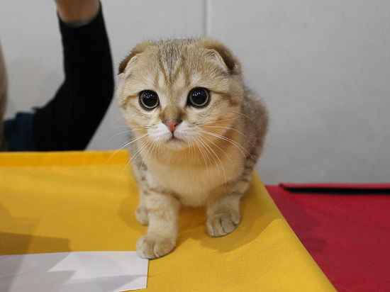 Самые красивые кошки Крыма: от британцев до мейн-кунов